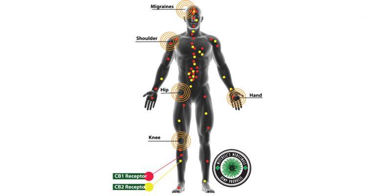 CB1 and CB2 endo cannabinoid receptors